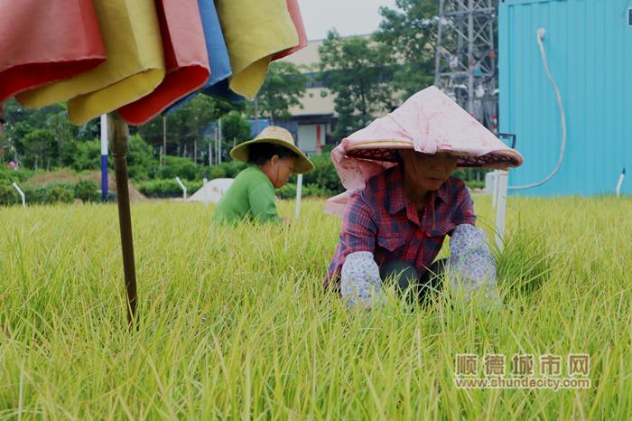 """陈村镇弼教村有着2000多年的花卉历史,素有""""千年花乡""""美誉。.JPG"""