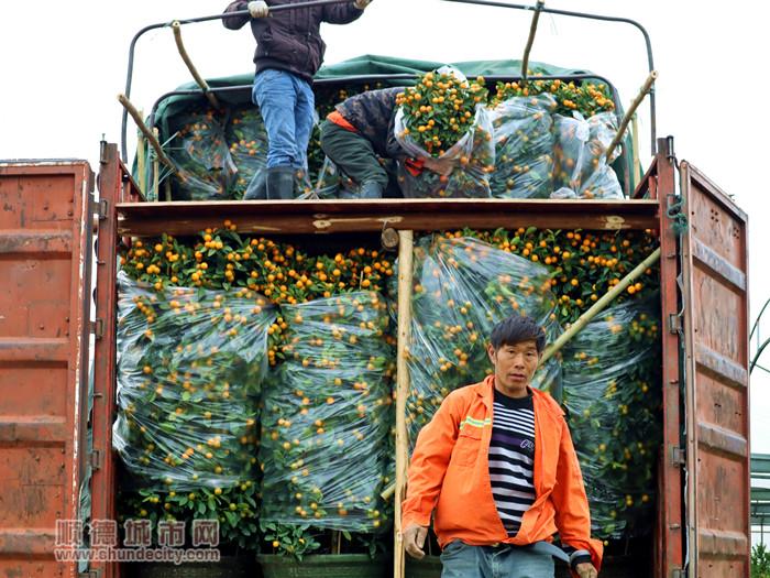 工人正在搬运年桔到卡车上。.jpg