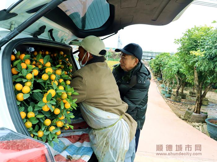 张叔与桔农李叔一同=将挑选好的桔子搬上车。.jpg